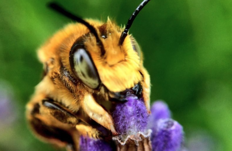 35 species of bees are under threat